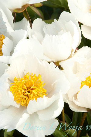 2054 Paeonia Krinkled White_012