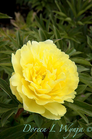 4707 Paeonia Yellow Doodle Dandy_002