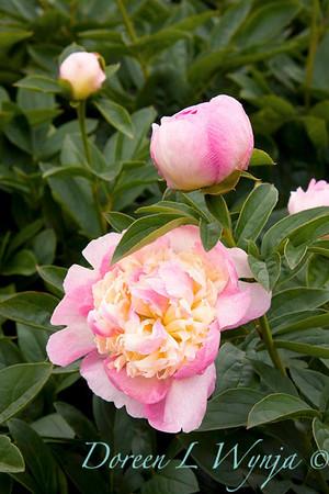 4607 Paeonia x Raspberry Sundae_008-2