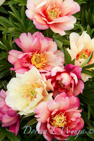 3913 Paeonia Julia Rose_001