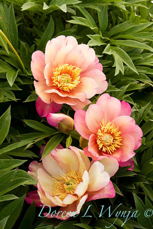 3913 Paeonia Julia Rose_004