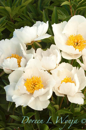 2054 Paeonia Krinkled White_010
