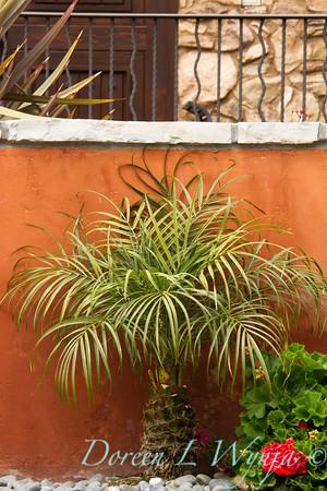 Phoenix roebelenii_022