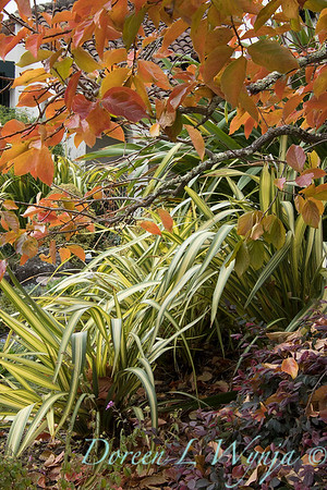 Phormium 'Yellow Wave' - Diospyros - Loropetalum fall color_1223
