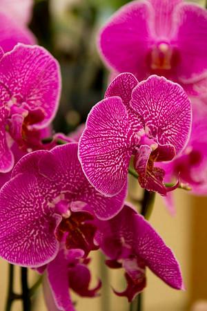 Phalaenopsis_030
