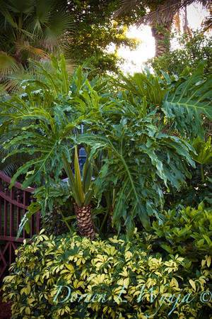 Philodendron selloum_002M