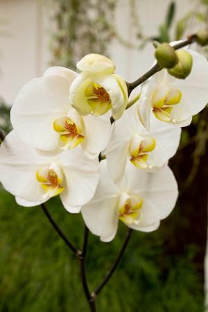 Phalaenopsis Nantal x Tsukuba_002