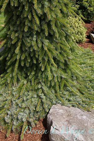 Picea omorika 'Pendula Bruns'_0829