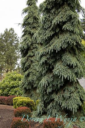 Picea glauca 'Pendula'_5523