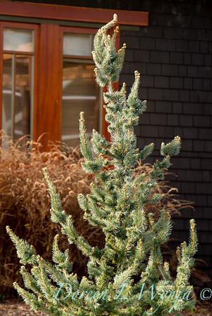 Picea pungens Iseli Foxtail_001