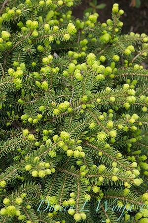 Picea abies 'Pumila'_006