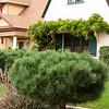 Pinus mugo_024