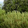 Pinus mugo_001