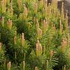 Pinus mugo pumilio_005M
