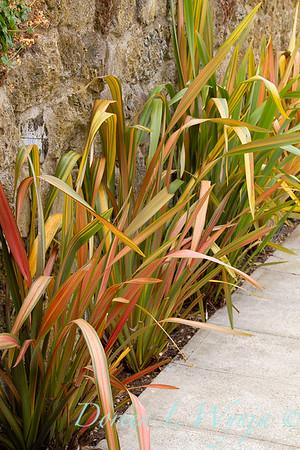 Phormium 'Rainbow' sidewalk edge_2260