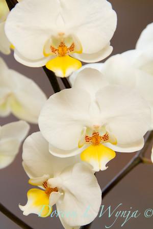 Phalaenopsis orchid_006