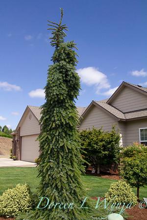 Picea omorika 'Pendula Bruns'_0825