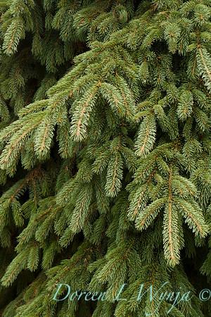 Picea glauca 'Pendula'_860