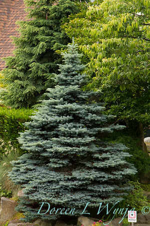 Picea pungens_050