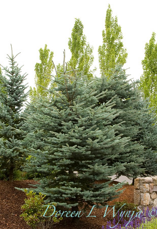 Picea pungens_001