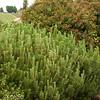 Pinus mugo_002