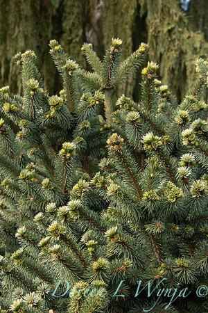Picea pungens 'Mrs  Cesarini' blue spruce_0600