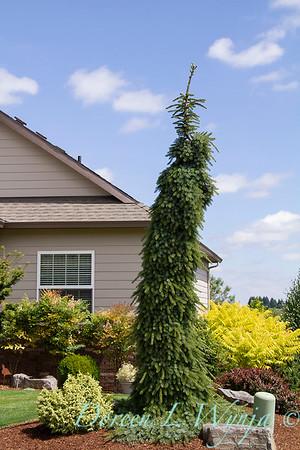Picea omorika 'Pendula Bruns'_0824