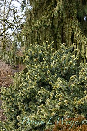 Picea pungens 'Mrs  Cesarini' blue spruce_0594