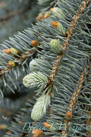 Picea pungens 'The Blues'_1352