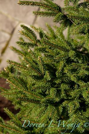 Picea orientalis Atrovirens_005