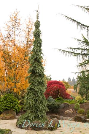 Picea glauca 'Pendula'_854