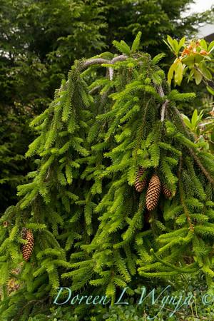 Picea abies Acrocona_Doreen Wynja_005