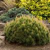 Pinus mugo pumilio_026M
