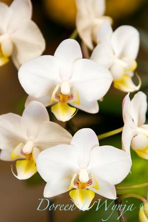 Phalaenopsis orchid_010