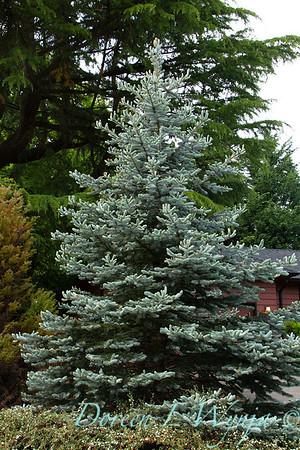 Picea pungens Glauca_8991
