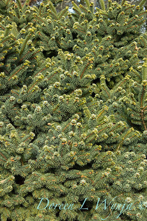 Picea pungens 'Mrs  Cesarini' blue spruce winter color_0603