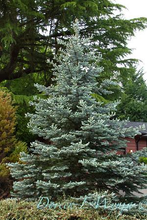 Picea pungens Glauca_8991M