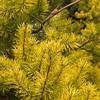 Pinus virginiana Wate's Golden_1311