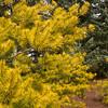Pinus virginiana Wate's Golden_1308