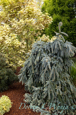 Picea pungens 'The Blues'_1347