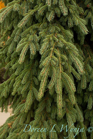 Picea glauca 'Pendula'_857