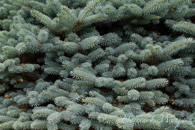 Picea pungens_060