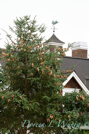 Picea abies_012