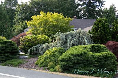Picea abies 'Nidiformis' - Cedrus atlantica 'Glauca Pendula'_2916