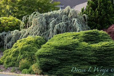 Picea abies 'Nidiformis' - Cedrus atlantica 'Glauca Pendula'_2918