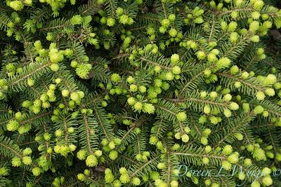 Picea abies 'Pumila'_004