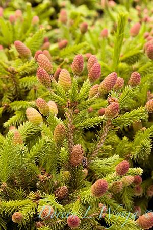 Picea abies Pusch_004