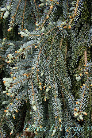 Picea pungens 'The Blues'_1350