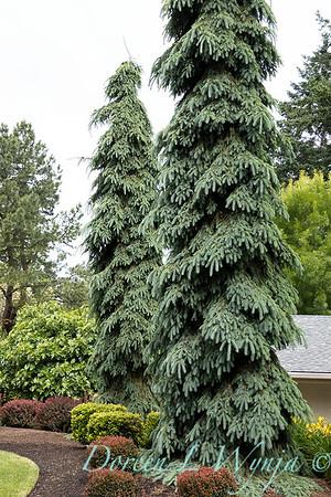 Picea glauca 'Pendula'_5519
