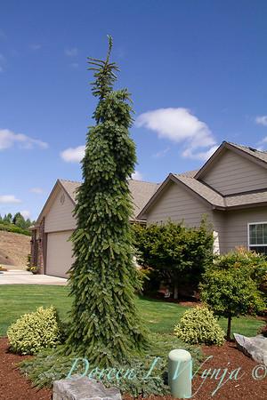 Picea omorika 'Pendula Bruns'_0827